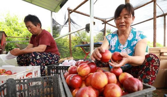 油桃丰收 助农增收