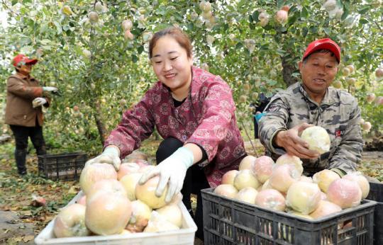 和村苹果喜获丰收