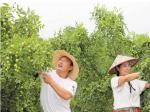 枣树夏管保丰收