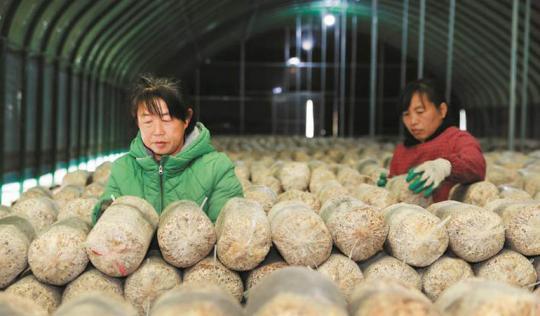 大棚蘑菇种植富农家