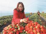 冬日草莓红 市民采摘乐
